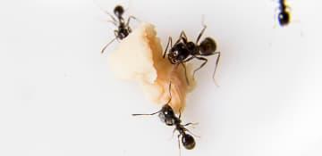 Ant Treatment Albany NY