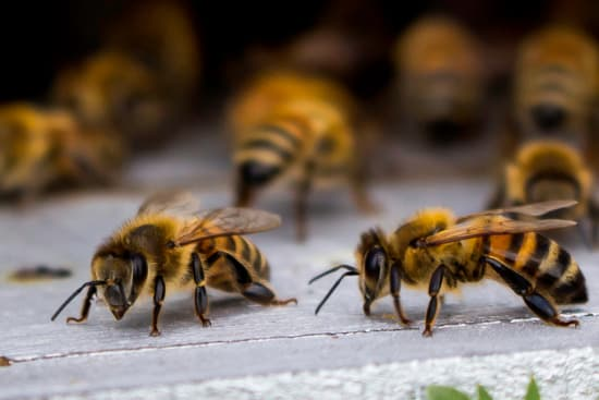 Bee Removal - Capital Pest Removal Albany NY