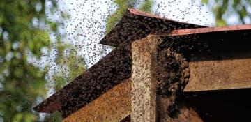 Bee Swarm Removal - Capital Pest Removal Albany NY