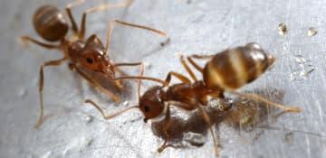 Crazy Ant Exterminator Albany NY - Capital Pest Removal