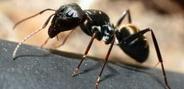 Little Black Ant Exterminator Albany NY - Capital Pest Removal