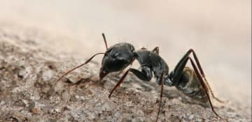 Pavement Ant Exterminator Albany NY - Capital Pest Removal