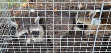Racoon Removal Albany NY