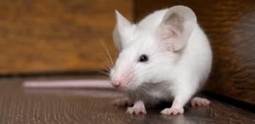 Rodent Removal Albany NY