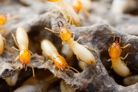 Termite Control Albany NY - Capital Pest Removal