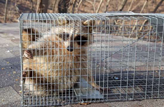 Wild Animal Trapping Albany NY - Capital Pest Removal